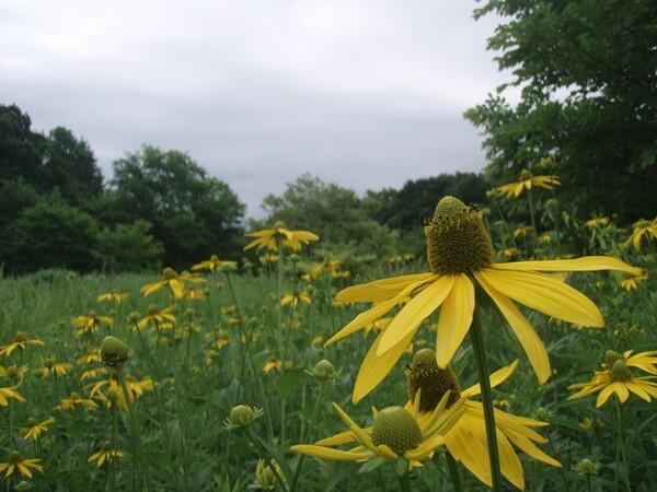 オオハンゴンソウの咲くころ