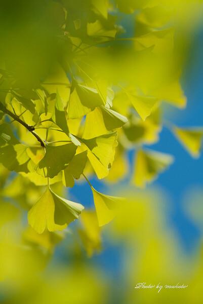 黄葉は花のように・・・