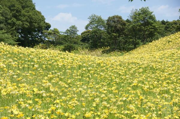仮睡百合の園黄色バージョン