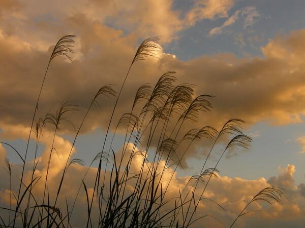 夕雲とススキ