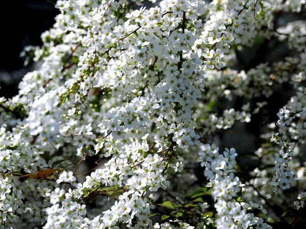【桜花】 桜の名前がついてます。