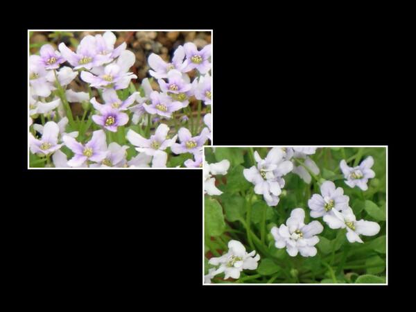 珍しい八重咲き?イオノブシディウム