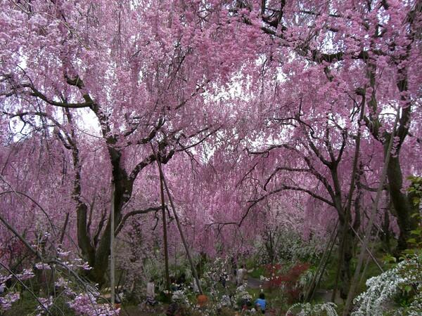 原谷苑の枝垂れ桜のシャワー