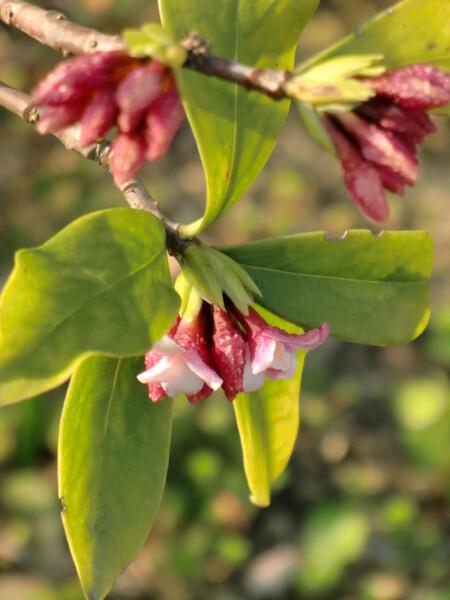 香る 沈丁花