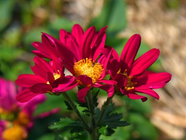 【紅】色の菊