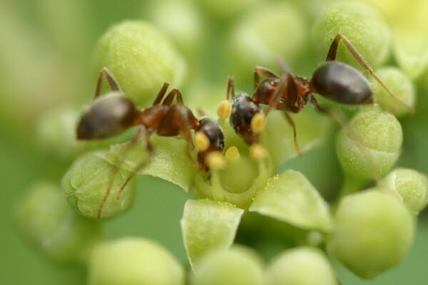 蟻さんと蟻サンがコッツンコ