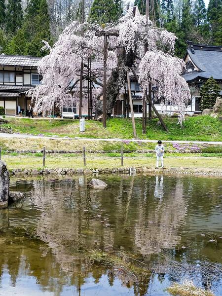 【縦画像】西光寺のしだれ桜❤