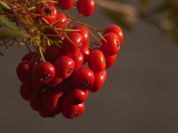 小鳥の【好きなもの】赤い木の実