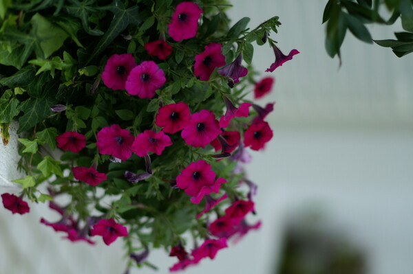 『夏』恋の花