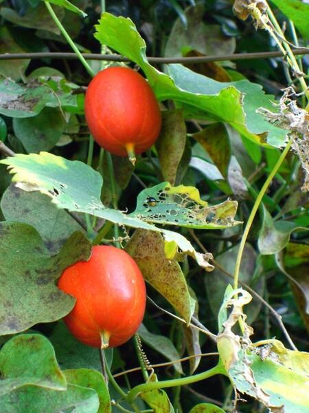 里山の赤い実 カラスウリ