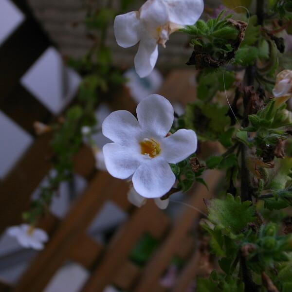 バコバの白花