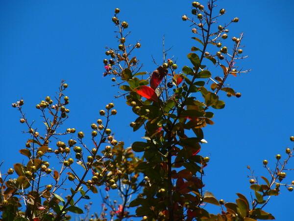 サルスベリの実と紅葉