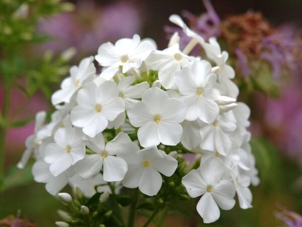 白のフロックス