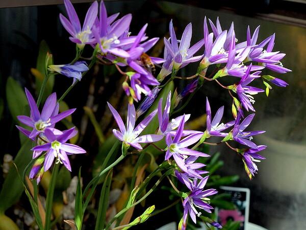 イキシア 紫系の色