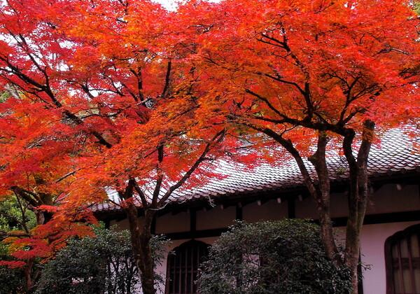 【絵のような】伽藍堂の紅葉