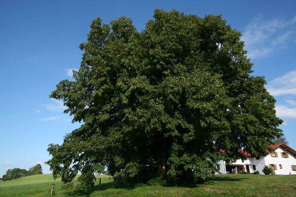 南ドイツWessobrumの西洋菩提樹