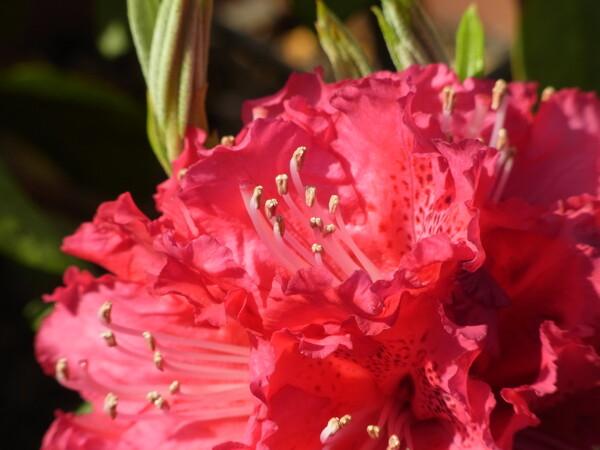 石楠花に超接写
