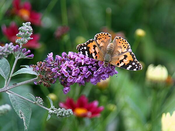 ブッドレアにヒメアカタテハ蝶が来ました。