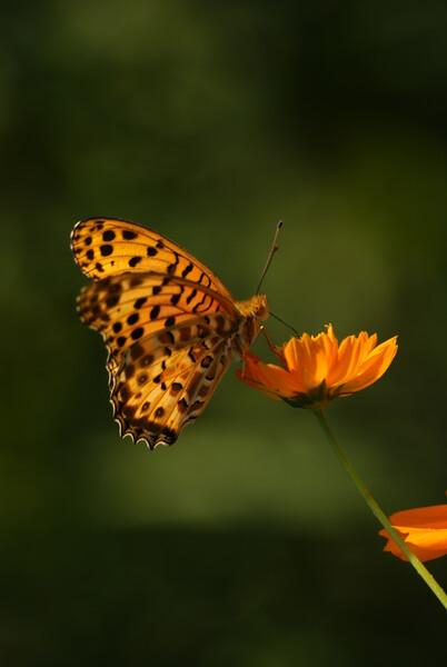 秋桜と褄黒豹紋蝶