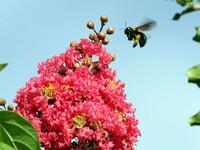 百日紅とクマバチ