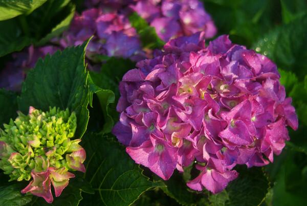 クロアジサイが濃い紫の面影が・・