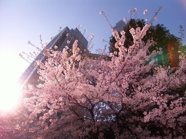 『都会の桜を斬る!』・・・