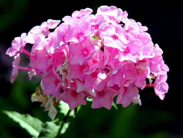 フロックス 1 ピンク