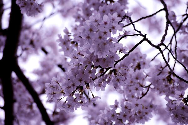 涼観(すずみ)の桜