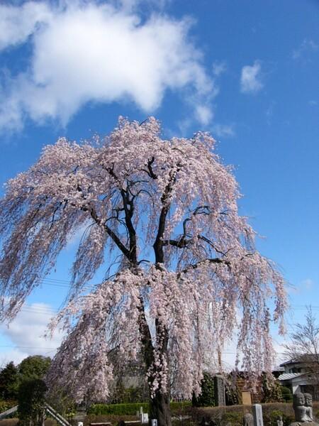 この桜好きです #3