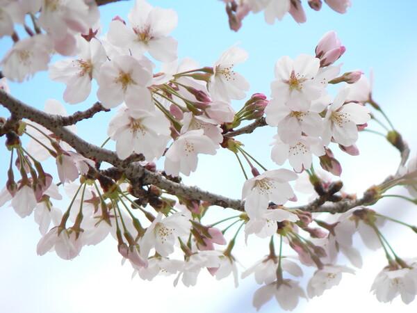 【おだやかに・・・春】サクラ