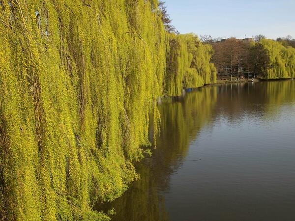 春の麗の柳池