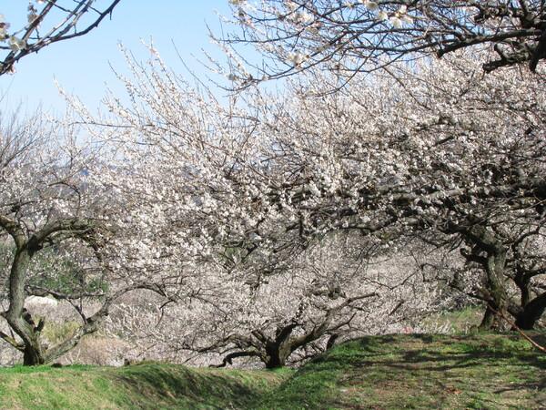 【ザ・ワールド】梅の香り
