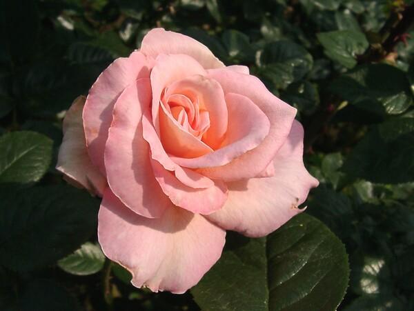 ★09春バラ・セレクション-77