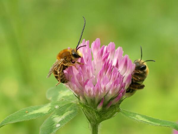 【花のある情景】赤詰草の仲良し