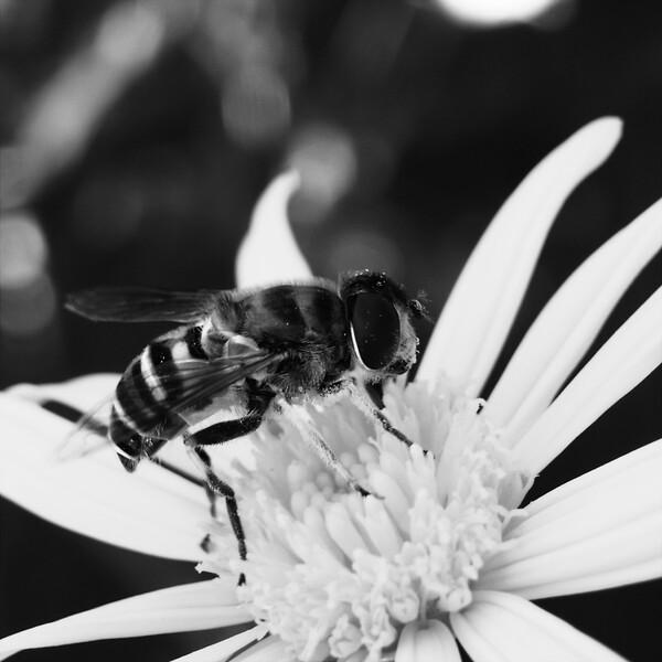 蜂・・B&W