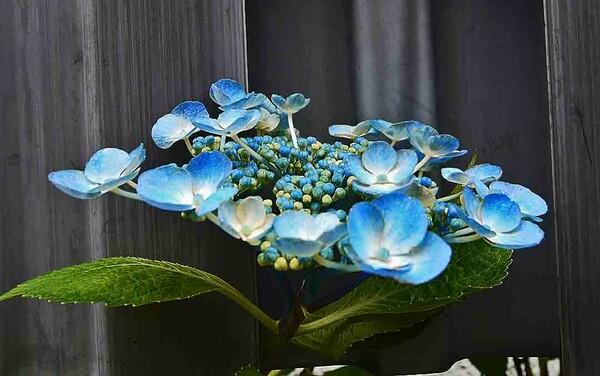§ 青い紫陽花 §