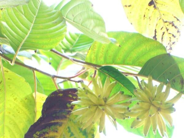 面白い木の実