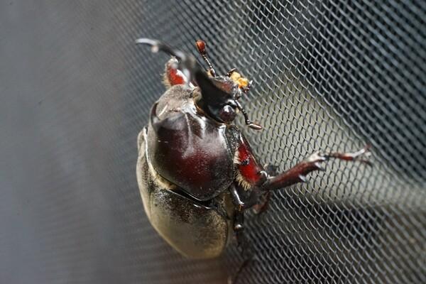 カブト虫の来訪