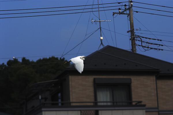 「瞬」コサギの飛翔