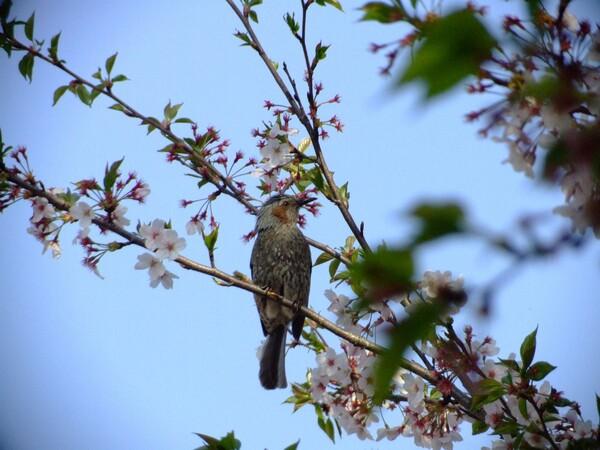 小鳥も花見