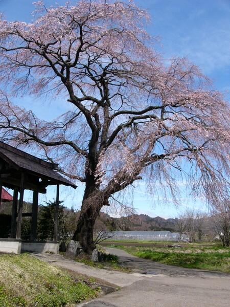 この桜好きです #1