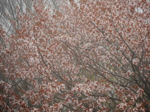 けむる山桜