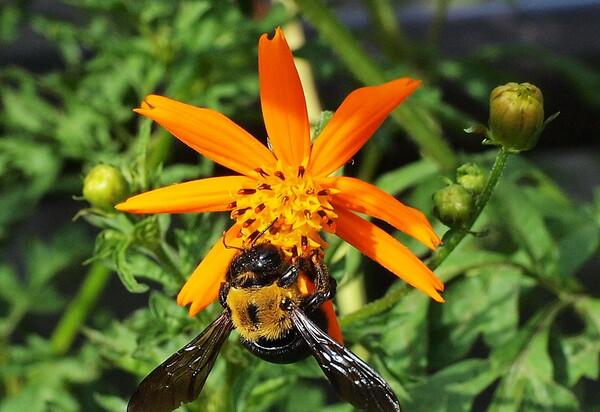 【花のある情景】黄花コスモスと蜂