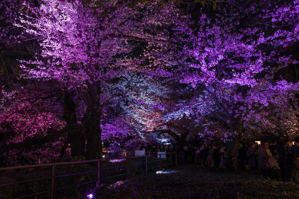 夜桜七変化