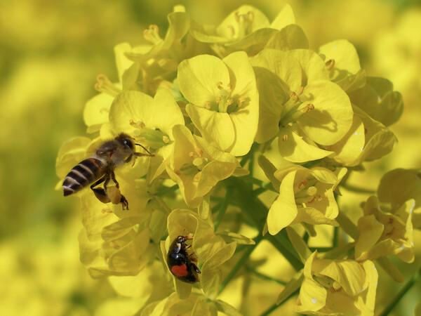 【花のある情景】菜の花畑で仲良く