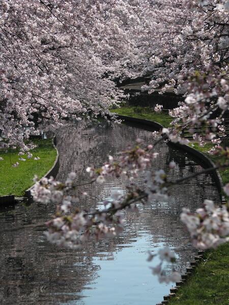 〔桜〕さ・く・ら