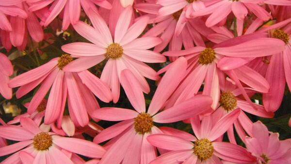 【はるの予感】ピンク花