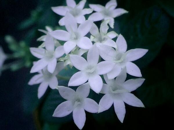 7弁花のペンタス