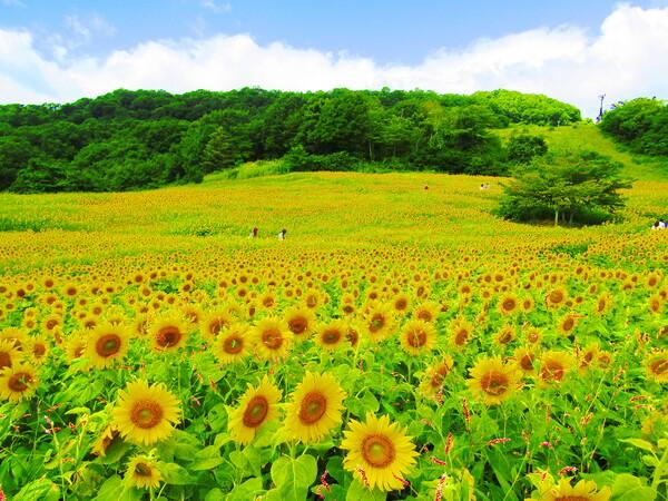 高原のひまわり畑