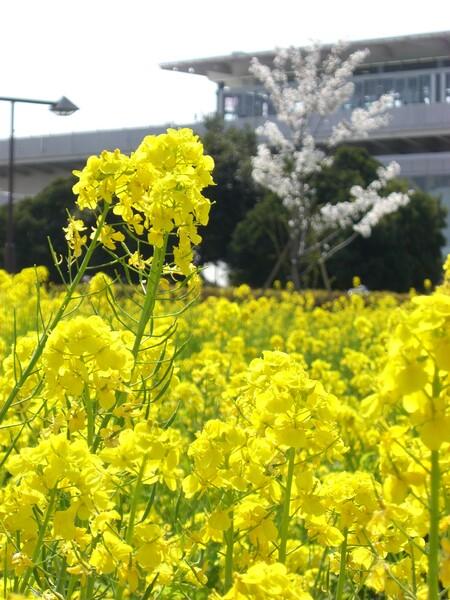 菜の花でお花見